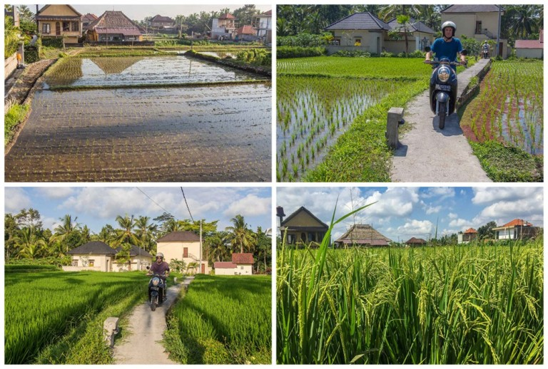 ubud-rice-field-life-cycle-1037x700