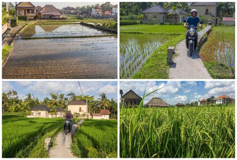 ubud-rice-field-life-cycle-1037x700