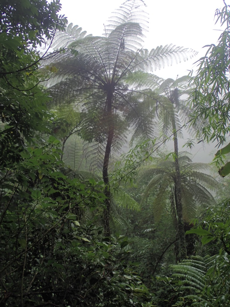 Munduk forest, on way to Tanah Barak waterfall - feathery, prehistoric-looking palm trees in the jungle mist