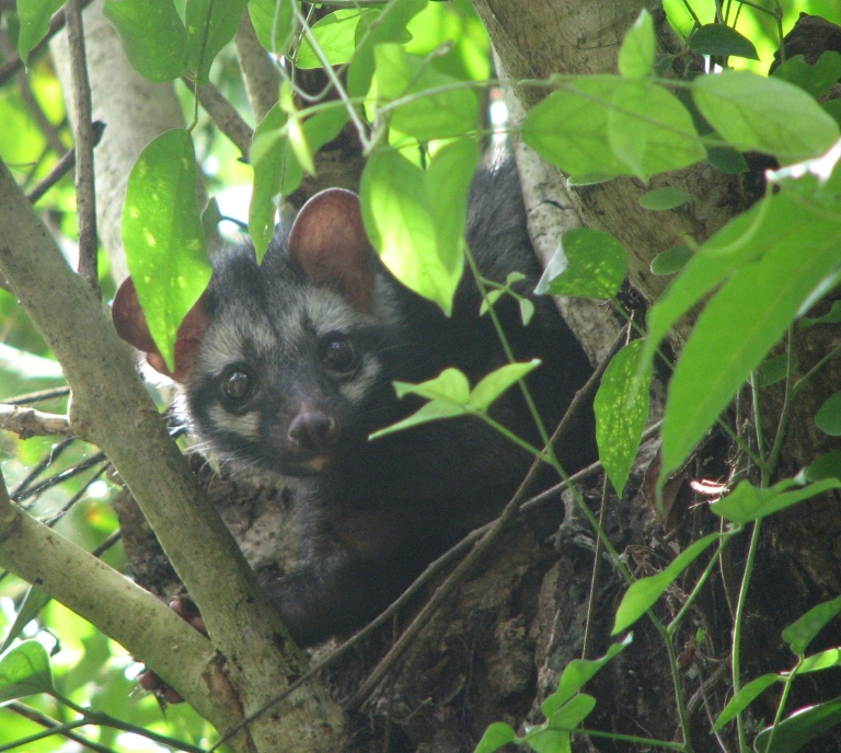 A wild Asian Palm Civet - photo from https://en.wikipedia.org/wiki/Asian_palm_civet