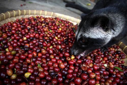 Asian Palm Civet eating fresh coffee cherries