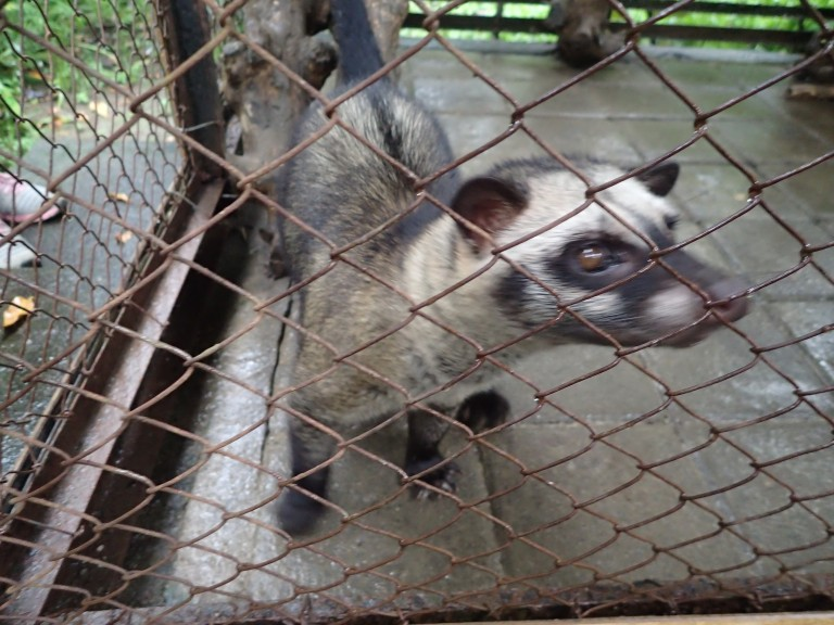 Civet (Luwak) at Coffee Plantation for Kopi Luwak
