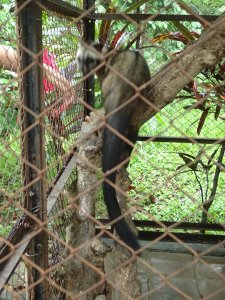 Civet (luwak) at Coffee Plantation and Civet Sanctuary